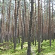 Kiefernwald Quelle:Dr. Erik van Herwijnen