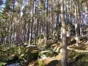 Kiefernwald im Waldviertel Quelle: DI Martin Forstner